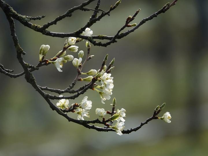 Aufblühende Knospen an einem Zweig