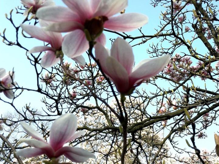 Im Frühjahr blühen überall die Magnolien.