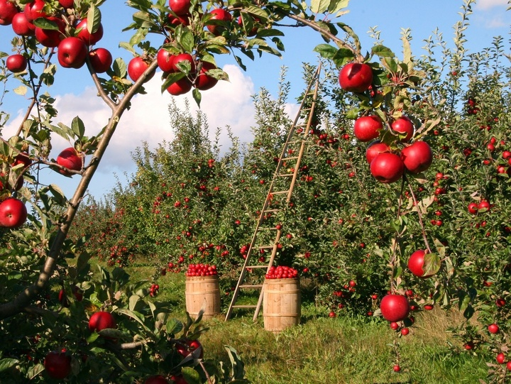 Obstgarten mit Äpfeln