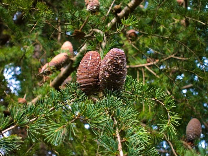 Zedernzapfen am Baum