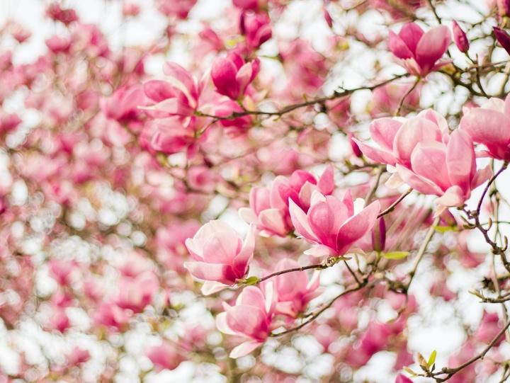 Rosa blühende Magnolien