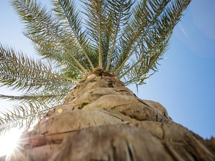 Eine, in die Höhe gewachsene, Palme.