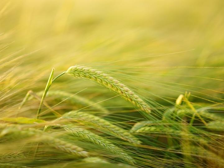 Getreideehre auf einem Feld