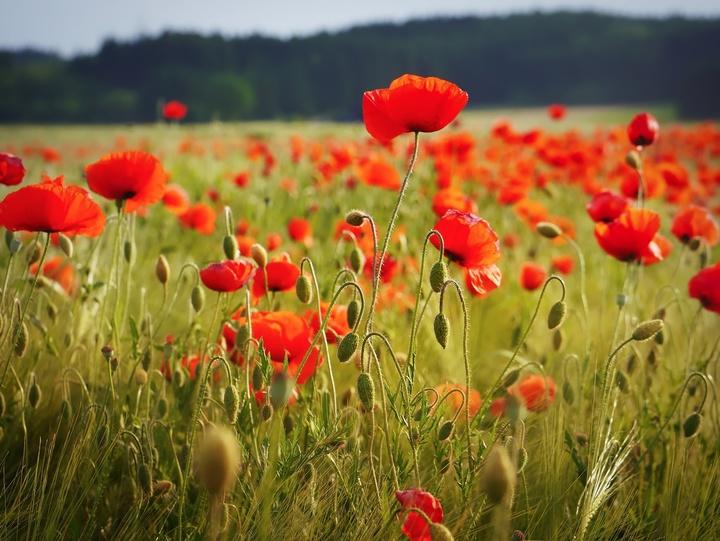 Mohnblumen auf einem Feld