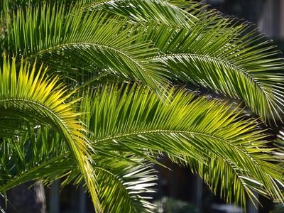 Grüne Palmwedel