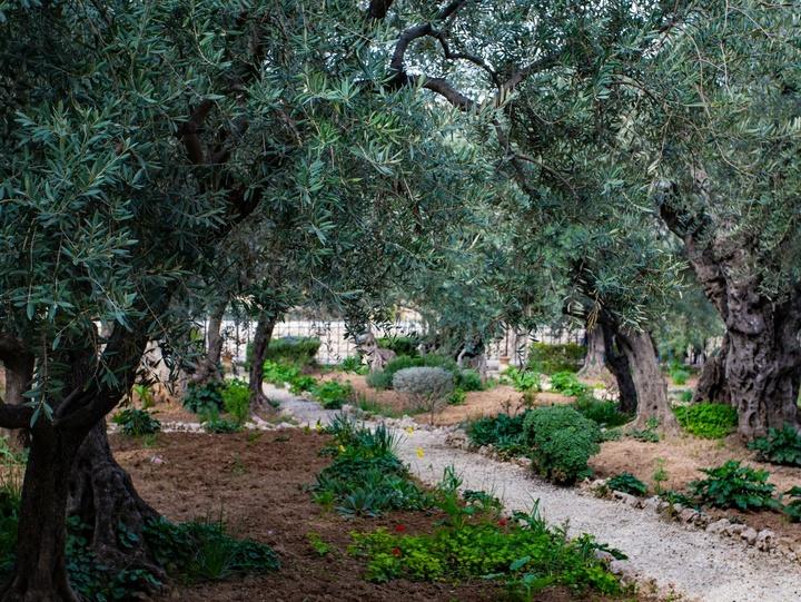 Ölbäume im Garten Gethsemani in Jerusalem