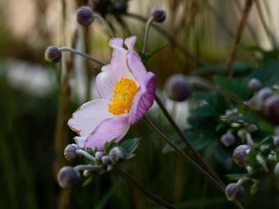 Herbst-Anemone im September