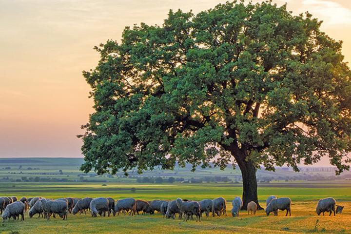 Baum mit einer grasenden Schafherde