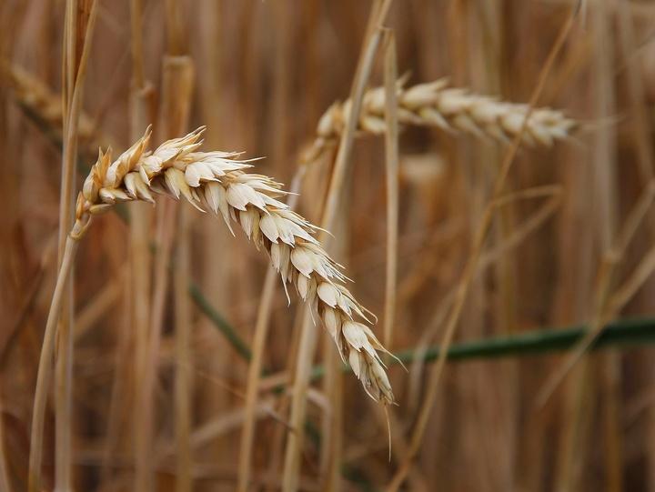 Einzelne Weizenrebe auf einem Weizenfeld.