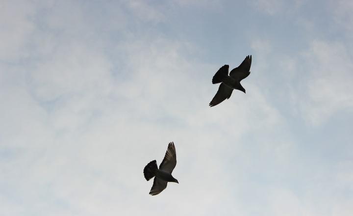 Zwei Tauben fliegen am Himmel.