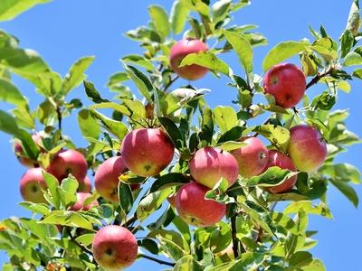 Apfelbaum mit reifen Äpfeln
